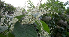 Japanese Knotweed Removal Costs