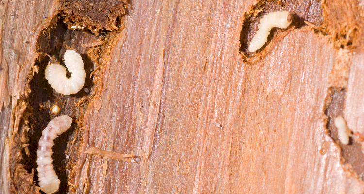 woodworm4