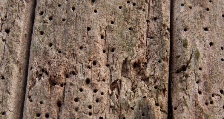 woodworm5