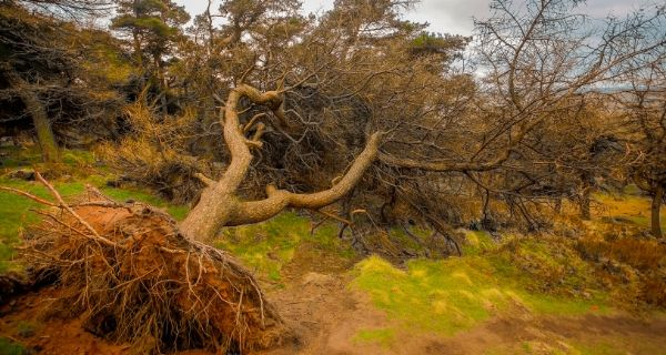 Fallen tree during a storm